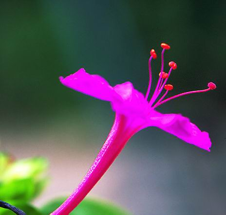 flower tabacum
